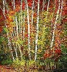 Birch by Scott Zupanc (Giclee Print)