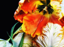 More Tulips by Lori Pond (Color Photograph)