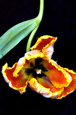 Tulip by Lori Pond (Color Photograph)