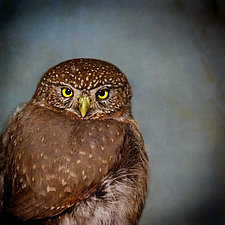 Song of a Northern Pygmy Owl II by Yuko Ishii (Color Photograph)