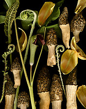 Morels with Tulip Petals by Lisa A. Frank (Color Photograph)