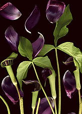 Jack-in-the-Pulpit with Tulip Petals by Lisa A. Frank (Color Photograph)