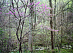 Redbud by Will Connor (Color Photograph)