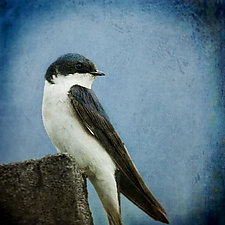 Song of a Tree Swallow I by Yuko Ishii (Color Photograph)