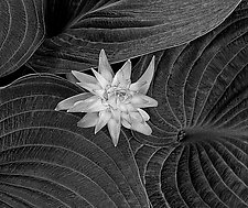 Hosta Flower and Leaves by Russ Martin (Black & White Photograph)