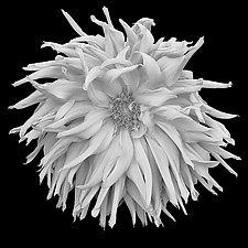 Shaggy Dahlia by Russ Martin (Black & White Photograph)