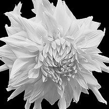 White Frilled Dahlia by Russ Martin (Black & White Photograph)