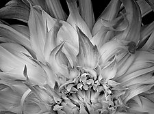 Flaming Dahlia by Russ Martin (Black & White Photograph)