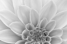 White Dahlia Petals by Russ Martin (Black & White Photograph)