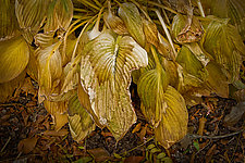 Wilted and Torn Hosta Leaves by Russ Martin (Color Photograph)