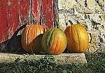 Ripening Pumpkins by Steven Kozar (Giclee Print)