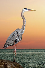 Great Blue at Sunset by Melinda Moore (Color Photograph)