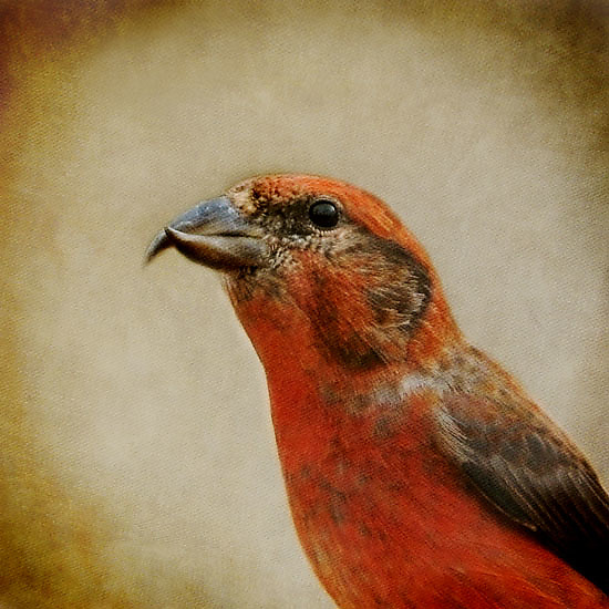 Song of a Red Crossbill