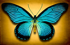 Papilio Zalmoxis No. 2 by Dario Preger (Color Photograph)