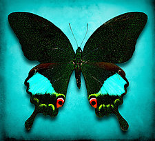 Papilio Paris by Dario Preger (Color Photograph)