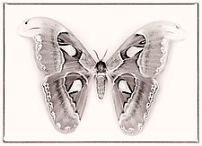 Attacus Atlas No. 2 by Dario Preger (Black & White Photograph)