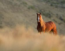 Sunrise Stallion by Carol Walker (Color Photograph)