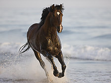 The Stallion Runs on the Beach by Carol Walker (Color Photograph)