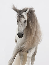 White Stallion Jumps by Carol Walker (Color Photograph)