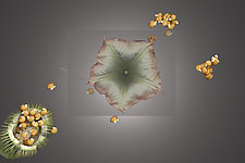 Datura I by Raphael Sloane (Color Photograph)