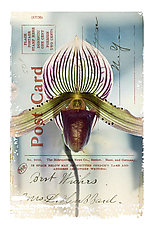 Orchid Card by Kevin Sprague (Giclée Print)