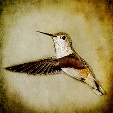 Song of a Calliope Hummingbird II by Yuko Ishii (Color Photograph)