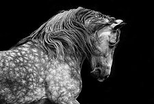 Powerful Andalusian Stallion by Carol Walker (Black & White Photograph)