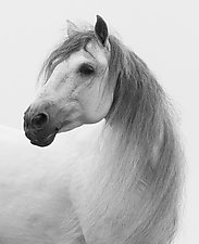 Gray Andalusian Stallion Turns by Carol Walker (Black & White Photograph)