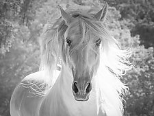 The Andalusian Stallion's White Mane by Carol Walker (Black & White Photograph)