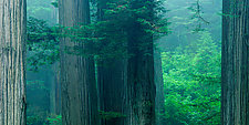 Redwood Trees by Terry Thompson (Color Photograph)