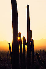 Saguaro Sunset II by Terry Thompson (Color Photograph)