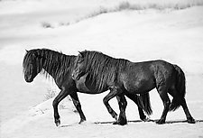 Two Sable Island Stallions Walk Together by Carol Walker (Black & White Photograph)