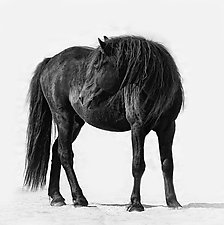 Sable Island Stallion Looking by Carol Walker (Black & White Photograph)