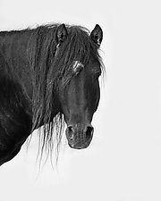 Sable Island Stallion's Portrait by Carol Walker (Black & White Photograph)