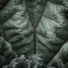 Ganera Leaf Number 1 by Steven Keller (Color Photograph)