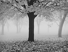 Maple Tree and Fog by William Lemke (Black & White Photograph)