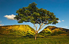 Honoapilani Tree at First Light by Matt Anderson (Color Photograph)