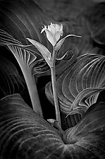 Roselike Hosta Flower by Russ Martin (Black & White Photograph)