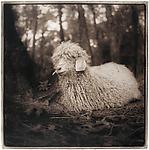 Angora Goat, 2001 by Janet Woodcock (Black & White Photograph)