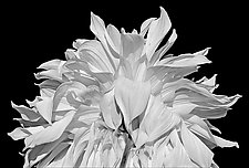 Dahlia Petals by Russ Martin (Black & White Photograph)