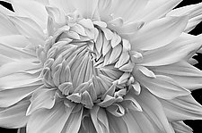Overlapping Petals by Russ Martin (Black & White Photograph)