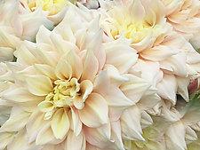 Dahlias by Julie Betts Testwuide (Color Photograph)