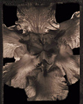 Bearded Iris by Allan Baillie (Black & White Photograph)