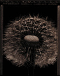 Dandelion by Allan Baillie (Black & White Photograph)