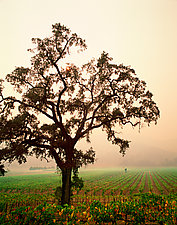 Oak Tree, Napa Valley by Michael McAreavy (Color Photograph)