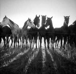 Horse Shadows by Adam Jahiel (Black & White Photograph)