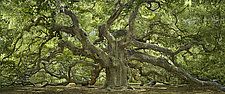 Angel Oak by Will Connor (Color Photograph)