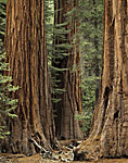 Three Sequoias by Will Connor (Color Photograph)