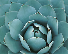 Agave by William Neill (Color Photograph)