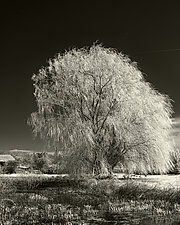 Willow by Geoffrey Agrons (Black & White Photograph)